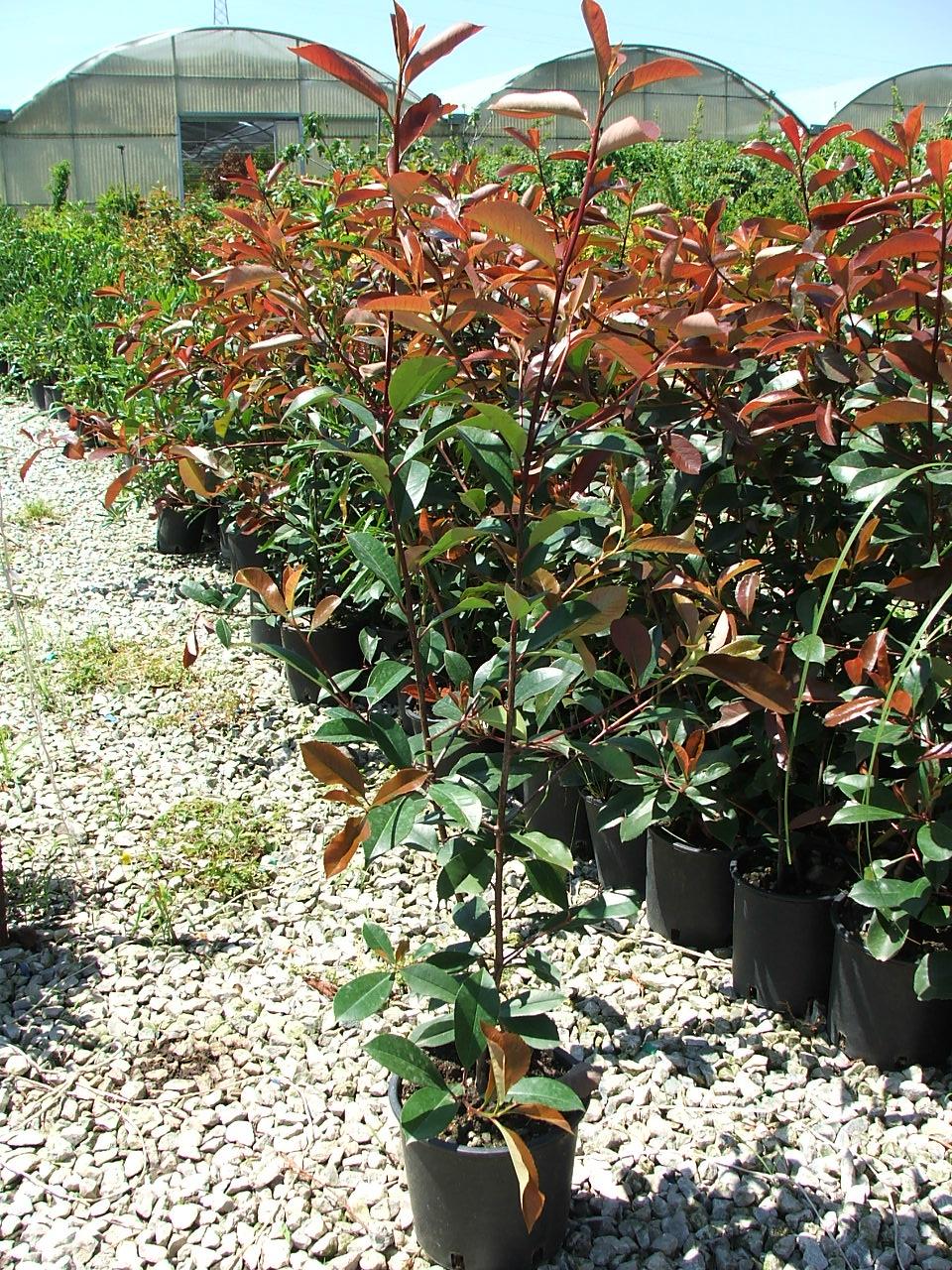 Alberi da giardino medio bassi bel design - Alberi da giardino piccoli ...