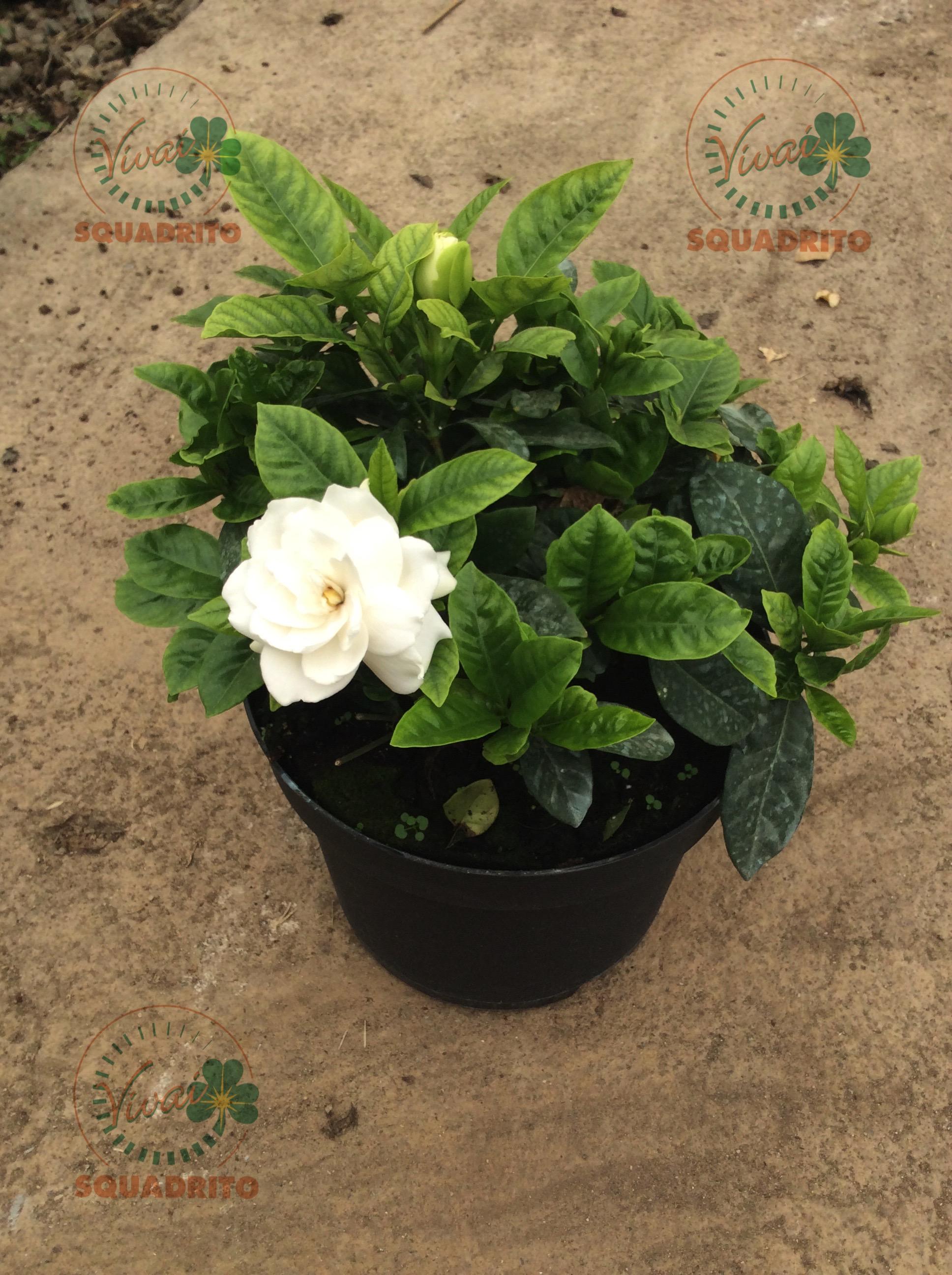Gardenia multiflora vivai squadrito - Gardenia pianta da giardino ...